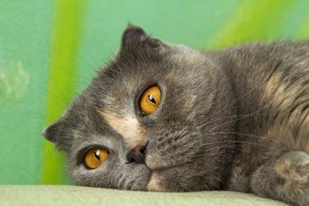 Scottish fold cat muzzle. tea amber eyes wide open.She is lying on the sofa. close up