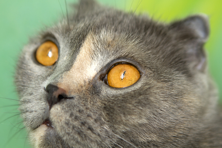 snoot: Scottish fold cat muzzle. tea amber eyes wide open.She is lying on the sofa. close up