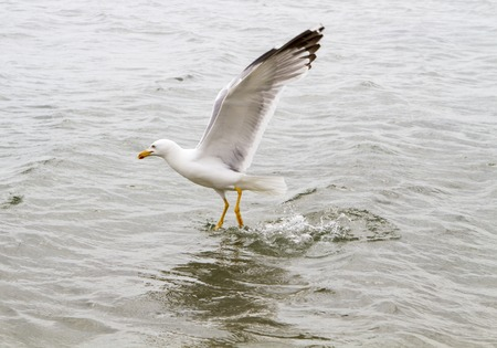 white headed: Sea gull on the water hunting ducks Stock Photo