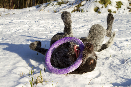 drathaar: drathaar dog playing outside in the snow lying toy circle ring winter Stock Photo