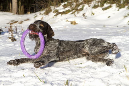drathaar: dog drathaar playing outside in the snow lying toy circle ring winter Stock Photo