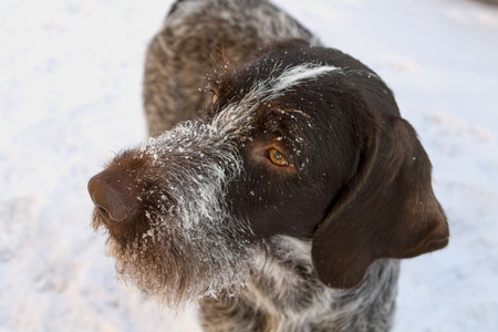 drathaar: hunting dog breed drathaar close up muzzle in the snow. pointer