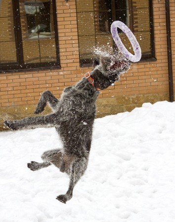 drathaar: jumps dog runs in the snow, flying a toy ring, drathaar Stock Photo