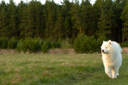 White dog samoyed walks on the edge of the forest. Green grass and spruce forest