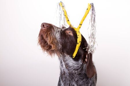 dog breeds draathaar in the headband for hair with a tinsel carnival for the holiday Stock Photo