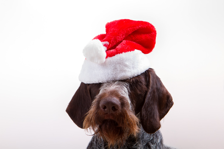 Black dog in santa outfit Stock Photo