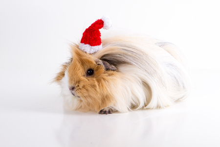 guinea pig and New Year, Santa Claus hat, isolated, white with Christmas decorations