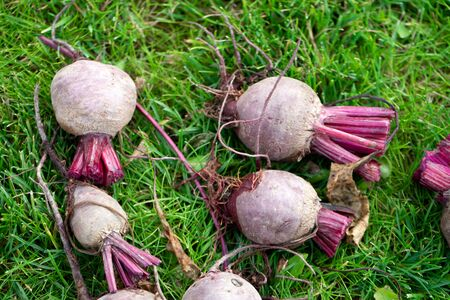 Fresh organic sliced beets, beets on the ground among green grass. Bright harvest. A pile of pure beets without leaf tops. Red beets lying outdoors in the garden. Tasty and healthy vegetable. 스톡 콘텐츠