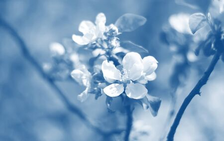 Beautiful blooming apple trees in spring park close up. toned in blue trend color of the year 2020