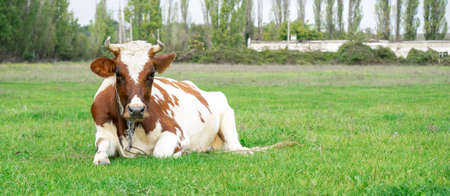 spotted brown cow lies on green grass