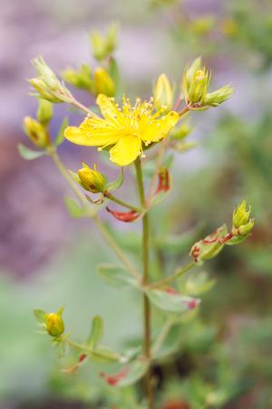 Flower of Hypericum