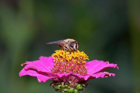 Zinnia flower with insect Stock Photo