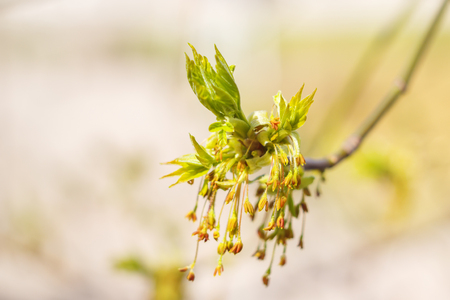 thawed: Maple flowers
