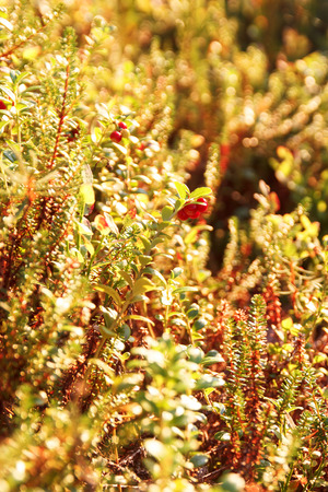 Cranberry and Crowberry in the sunlight in the summer