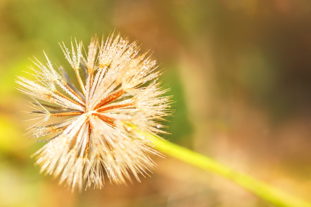 Fluffy flower in the dew