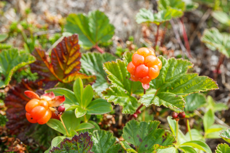 Cloudberry bush with two ripe berries in the north Stock Photo