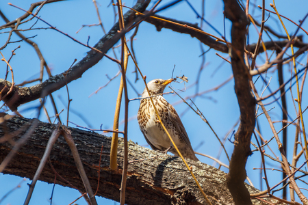 Turdus sits on a branch with prey at spring