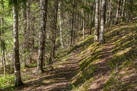 Forest path along the slope on a sunny day In Karelia