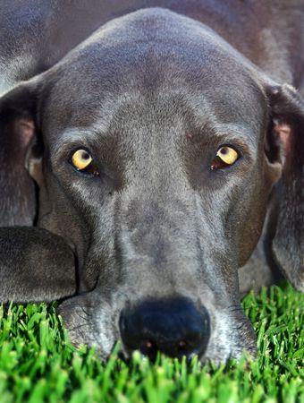Portrait of a blue great dane dog