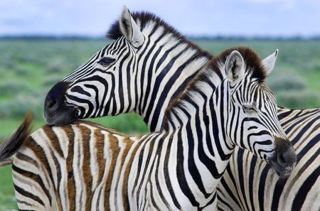 Mother zebra with her baby photo