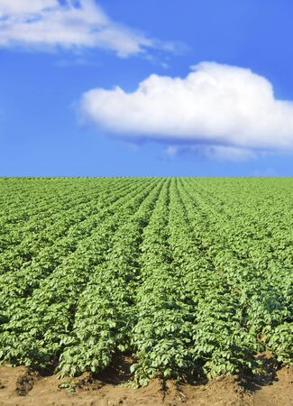 Potato field against blue sky and clouds on a sunny day