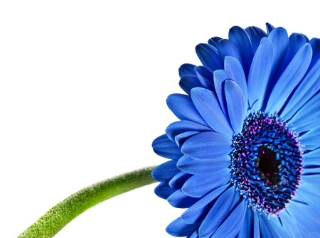 Close up abstract of a blue daisy gerbera on white