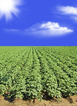 Potato field against blue sky and clouds Stock Photo
