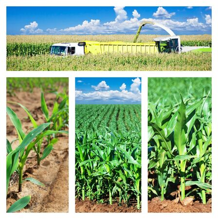 Collage of maize on the field photo