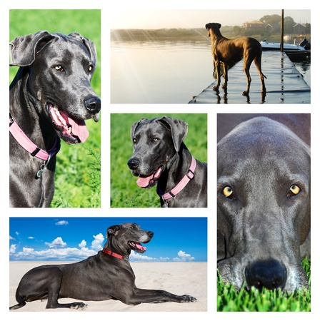 Collage of photos of a great dane dog Stock Photo