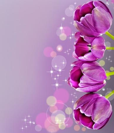 pink tulips: Dark pink tulips in background