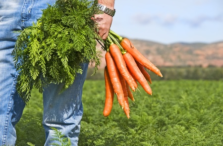 Carrot farmer in a carrot field on a farm Stock Photo