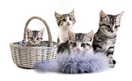 house cat: Adorable little kittens from the same litter