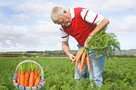 Proud carrot farmer picking fresh carrots for his basket