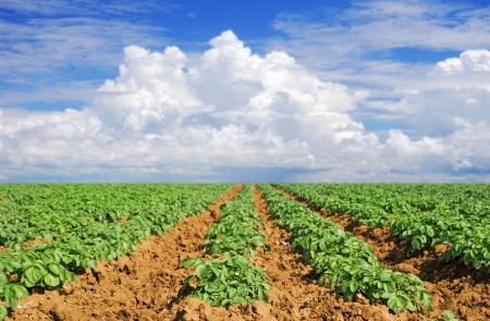Green potato fields against blue sky photo