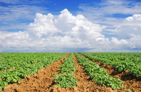 Green potato fields against blue sky photo