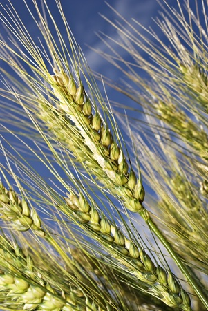 Wheat on the field against blue sky photo