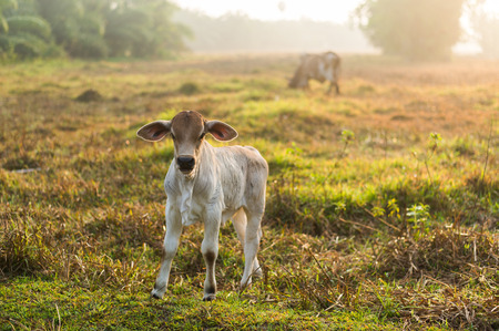 toowoomba: cow in the field