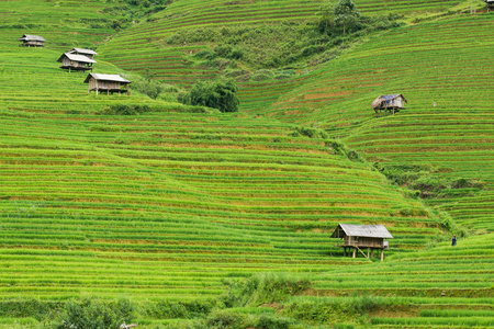 Agriculture Green Rice fields and rice terraced on mountain at SAPA, Lao Cai, Mu Cang Chai, Vietnam. The most of area is rice terraced.
