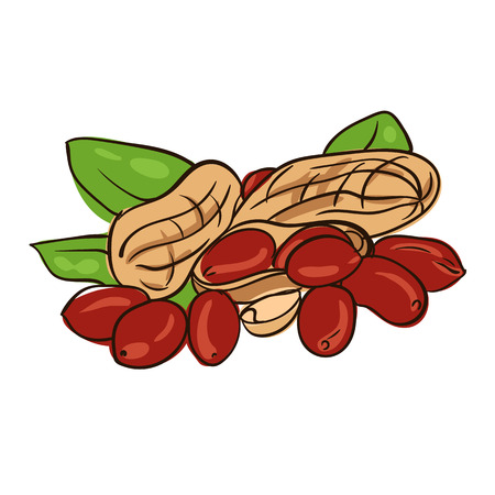 rich in vitamins: Watercolor image of peanut in nutshell and kernel of peanut. Vector eps8