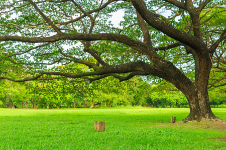 A beautiful rain tree on the lawn in the park with nature and sky  background.