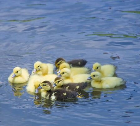 hatched: Group of baby ducks swimming in a pond