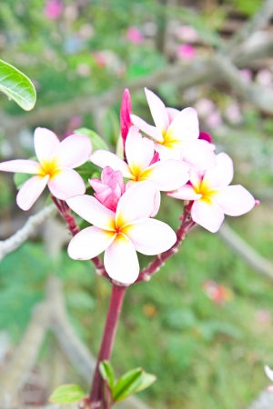 Tropical frangipani tree in the temple photo