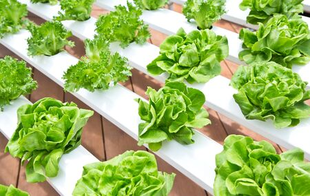 hydroponic: Fresh hydroponic vegetable in garden. Stock Photo