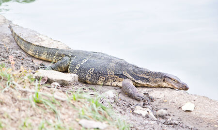 forked tail: Close-up of water monitor or Varanus salvato crawl beside natural lake Stock Photo