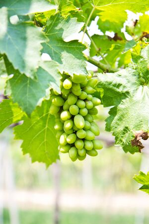 vinery: Green grapes farm for wine making