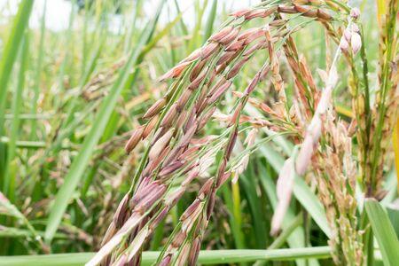 Organic Thai rice berry farm in Thailand