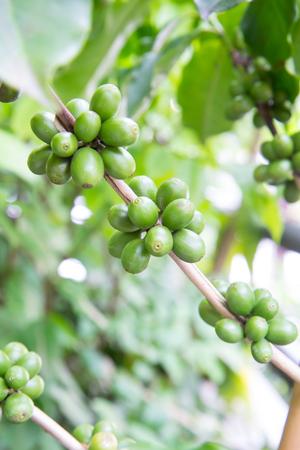 Green coffee bean on trees