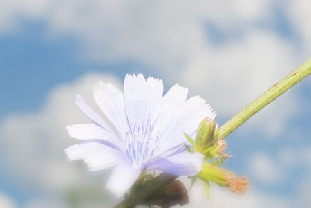 antimicrobial: Chicory used as a means to improve the appetite and improve digestion; broth roots have antimicrobial properties and astringent Stock Photo