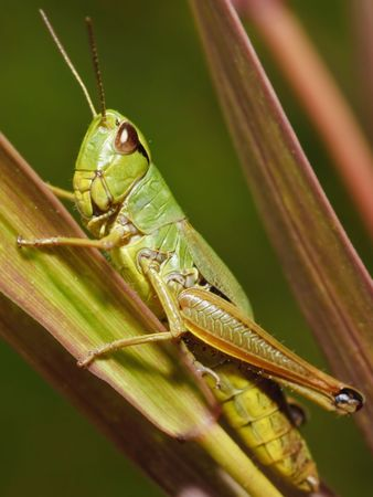 Grasshoppers are insects of the suborder Caelifera in the order Orthoptera. Stock Photo - 4820577