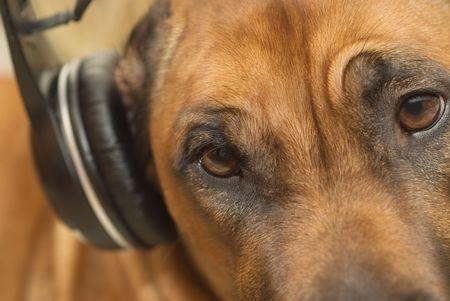 ridgebacks: The ridgeback listens to music on the headphones